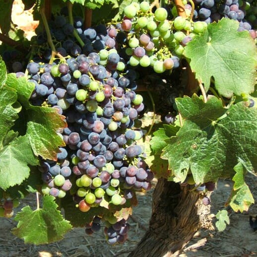 photo, image, grapes, food and wine travel planning