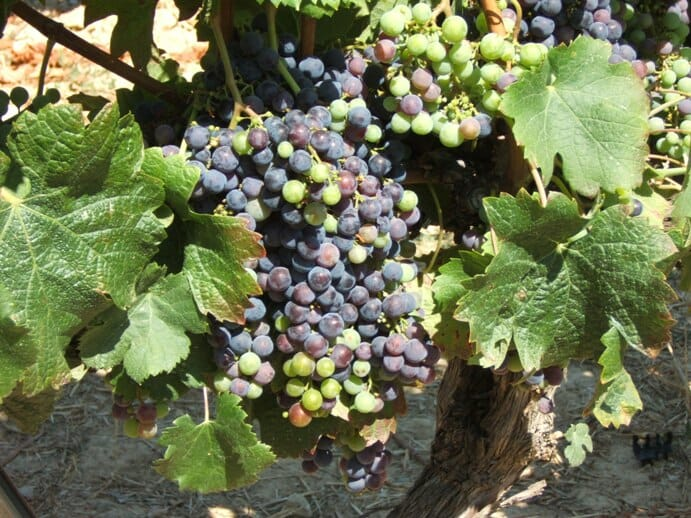 photo, image, grapevines, spain