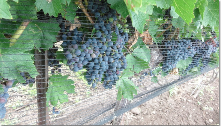 Grapes on vine protected by netting.