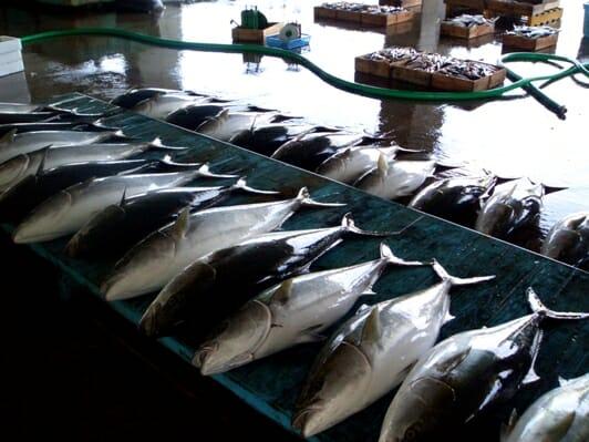 photo, image, tuna, uchinoura, wwoofing