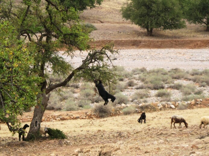 photo, image, goats, trees, morocco