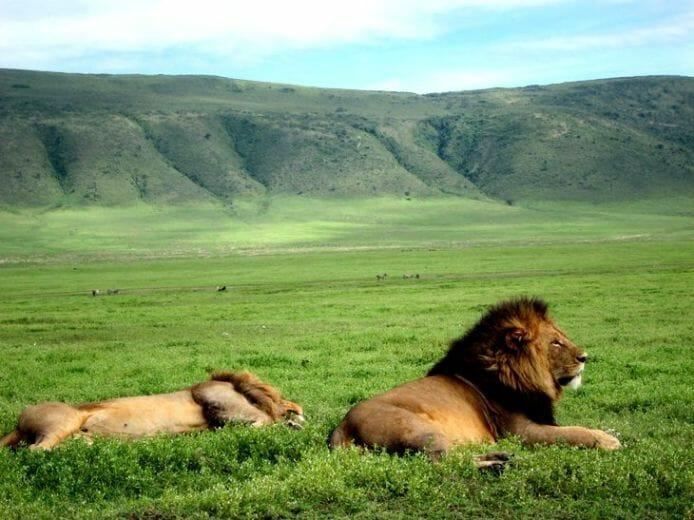 photo, image, lions