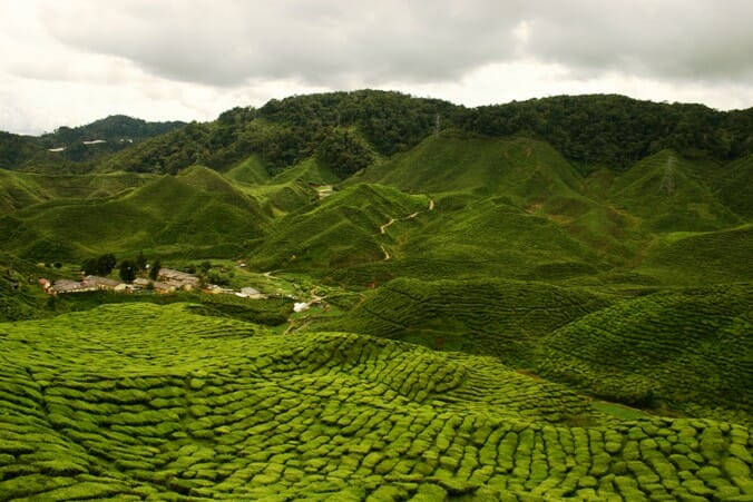 photo, image, tea plantation