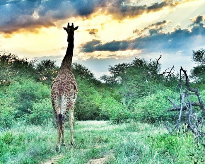 photo, image, giraffe