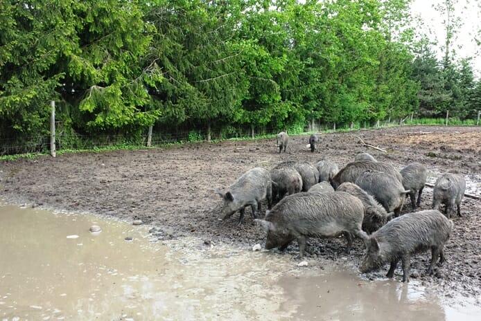 photo, image, wild boar