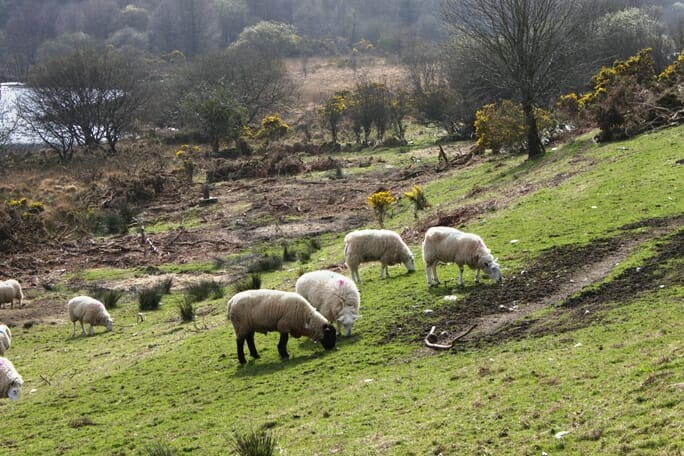 photo, image, sheep, Glendalough