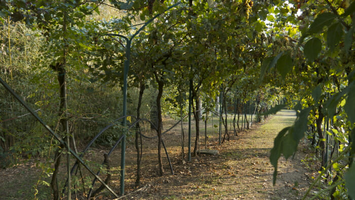 archway of grap vines