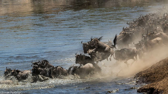 Kenya: Thousands of wildebeests run, walk and leap into the Mara River during a crossing, anxious to reach the other side. It's a thrilling spectacle to watch.