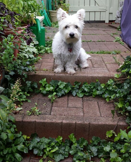 photo, image, westie, stratford, solo house-sitting