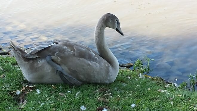 photo, image, swan, stratford, solo house-sitting