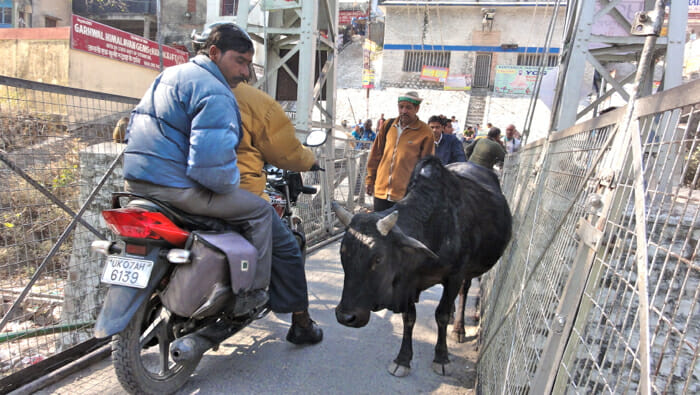 Sharing a pedestrian bridge with motorcycles and cows in Rishikesh.