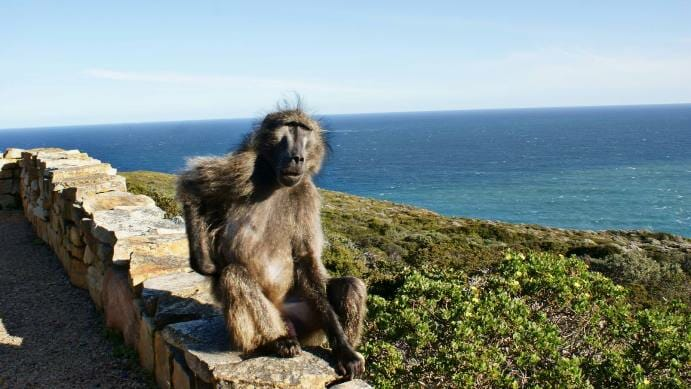 photo, image, baboon
