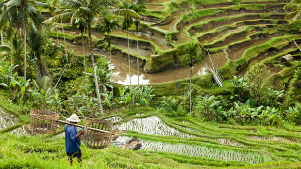 Rice terraces.