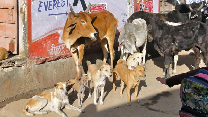 The animals in Puskar.