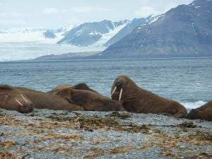 photo, image, walruses, norway