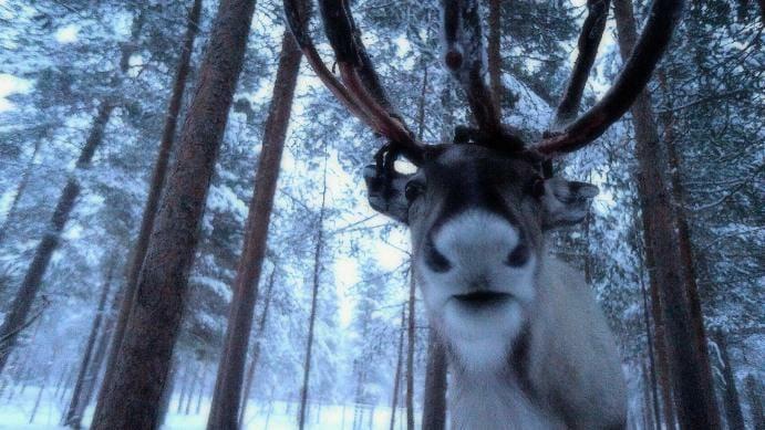 photo, image, reindeer, finland, muonio