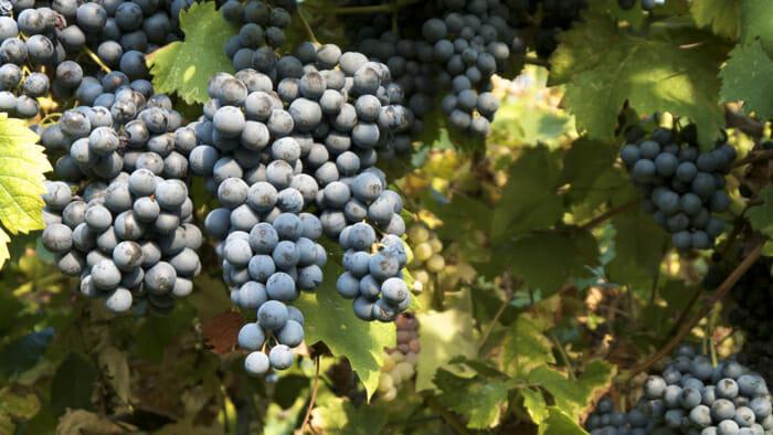 Wine and Vinegar grapes