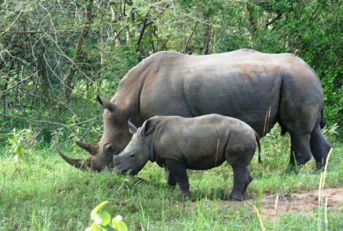 photo, image, mother rhino, baby rhino