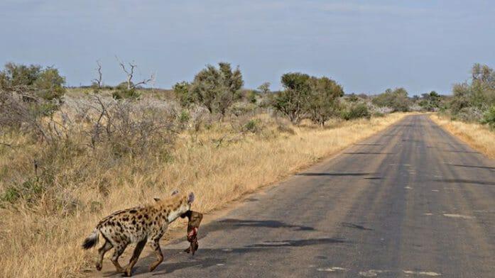 photo, image, hyena, kruger national park, mpumalanga