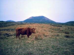 photo, image, cow, jeju island