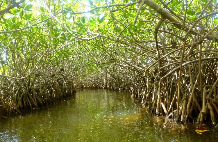 photo, image, hopkins, belize, mangrove