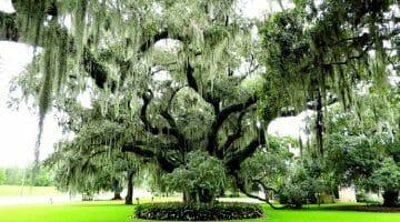 photo, image, tree, spanish moss, new orleans