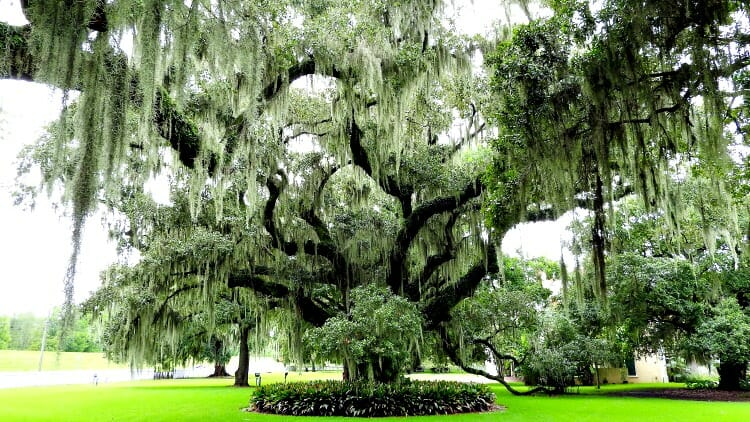 photo, image, tree, spanish moss, new orleans