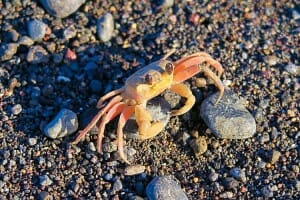 photo, image, amed beach, bali, sand crab