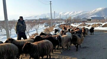 photo, image, armenia, goats