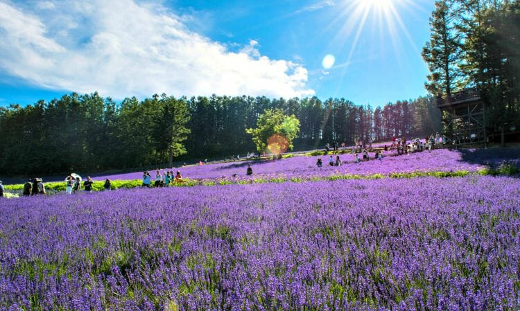 photo, image, lavender, furano, japan