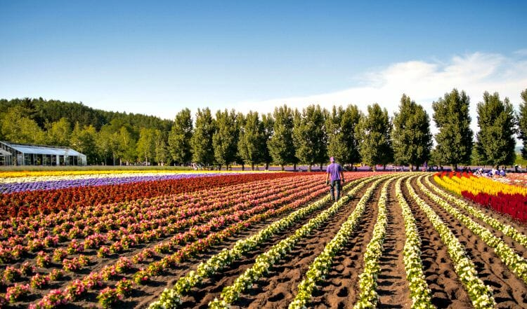 photo, image, flower farm, furano, japan