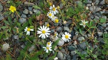 photo, image, flowers, teslin lake, yukon, canada