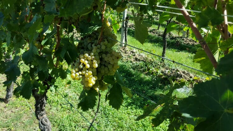 photo, image, grapes, lombardy