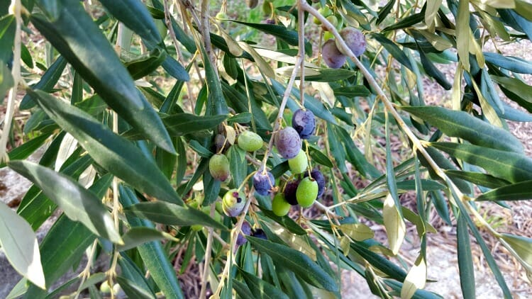 photo, image, olives, lombardy