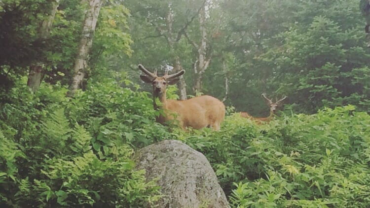 photo, image, deer, mont tremblant, solo travel canada