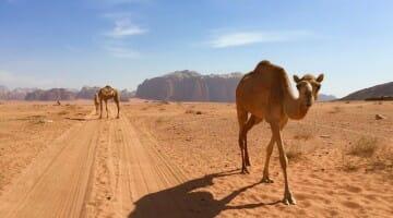 Pic of the Week: Camels in Wadi Rum, Jordan