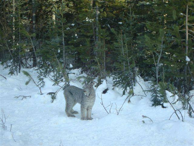 Glenda - Seeing this lynx right bedide me in Columbia Icefields, Banff National Park. Gorgeous CAT!