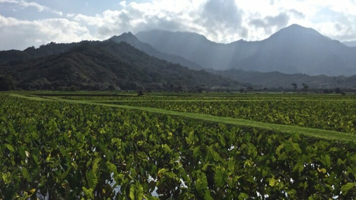 A taro crop with the mountains of the Napali Coast in the background.
