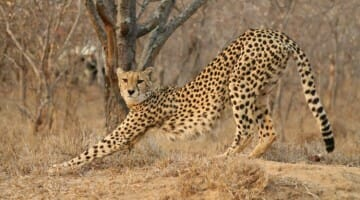 photo, image, cheetah, kapama game reserve, south africa