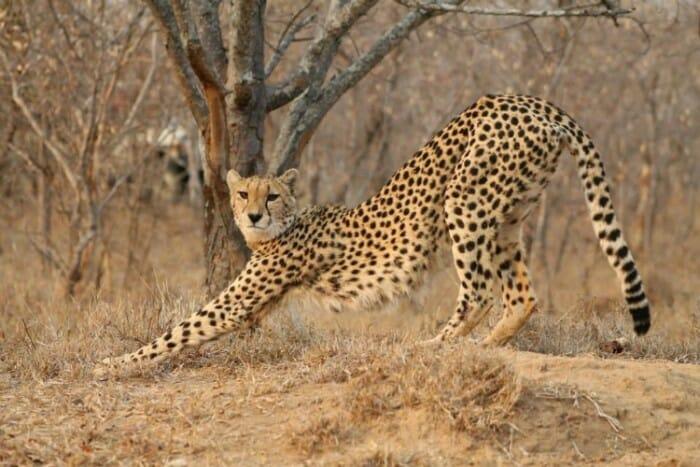 photo, image, cheetah, kapama game reserve, south africa