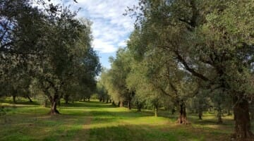 photo, image, olive trees, olive oil in lombardy, frantoio montecroce