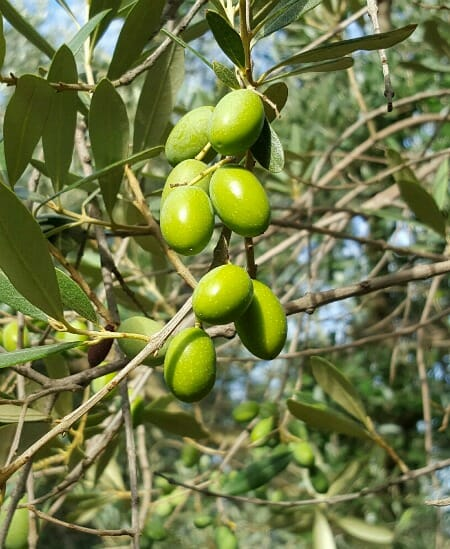 photo, image, olives, olive oil in lombardy