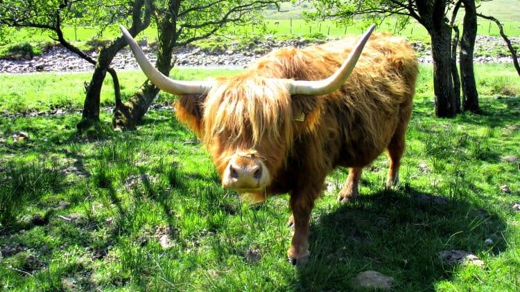 photo, image, cow, west highland way, scotland