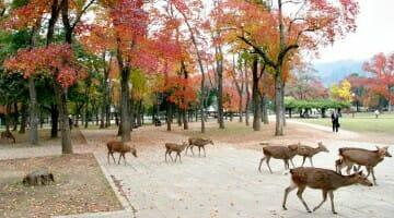 photo, image, deer, nara, japan