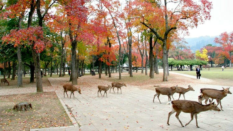 photo, image, deer, nara, japan