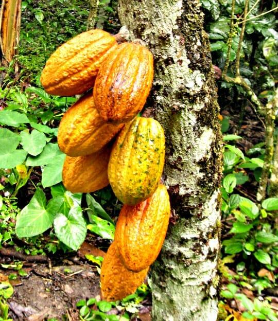 photo, image, cacao pods, cusco, peru