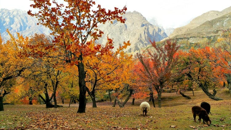 photo, image, trees, hunza