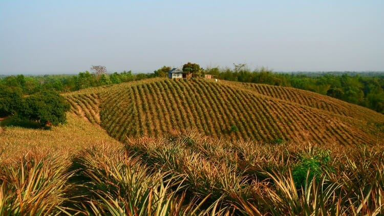photo, image, pineapple plantation, srimangal, bangladesh