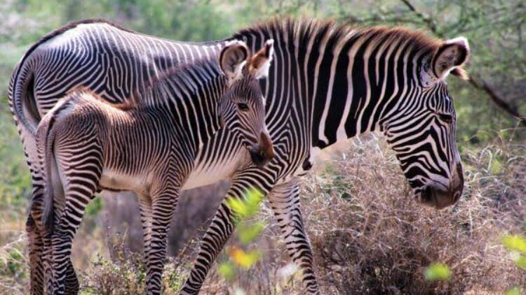 photo, image, zebra, kenya