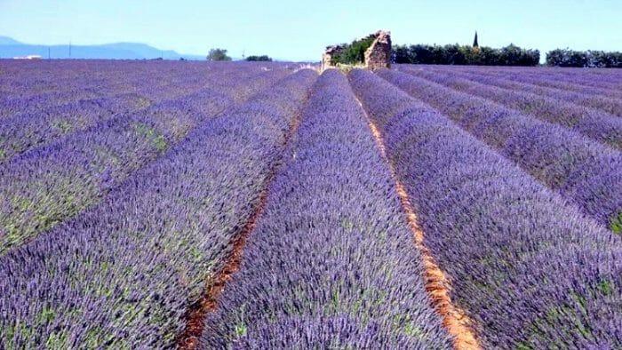 photo, image, lavender field, valensole, provence